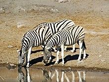 Een voorbeeld van de Namibische wilde dieren, de Vlakte Zebra, een focus van het toerisme