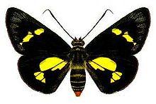 Szyper regent (Euschemon rafflesia) jest najbardziej wyrazistym motylem szypra, tworzącym podrodzinę Hesperiidae.