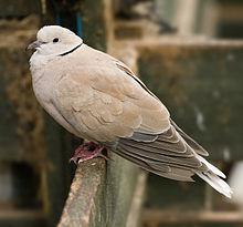 Une colombe de Barbarie sauvage en Tasmanie, Australie. Également connue sous le nom de colombe à collier ou Ringneck Dove (Streptopelia risoria)