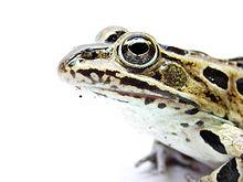 Die meisten Amphibien haben einen guten Geruchssinn. Ihre Augen haben Farbe und klare Sicht