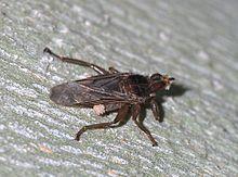 Roztocza przenoszą się na muchę (Pseudolynchia canariensis)