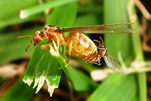 Ameisen paaren sich.