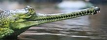 Een Indiase gaviaal, met dezelfde in elkaar grijpende vorm van spinosauridensnuitpunten