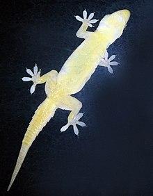Geckos kan aan wanden en plafonds blijven hangen door de krachten van van der Waals.