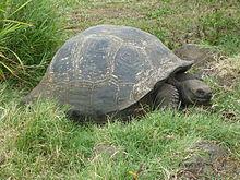 Żółw z Galapagos na wyspie Santa Cruz, Galapagos