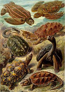 """""""Chelonia"""" (Testudines) z dzieła Ernsta Haeckela Kunstformen der Natur, 1904."""