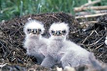 Zwei Küken (Adler)