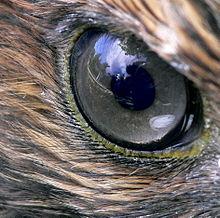 L'occhio di un falco