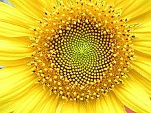 Zonnebloemenkop met bloemen in spiralen van 34 en 55 rond de buitenkant