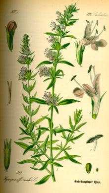 Illustration de H. officinalis au XIXe siècle