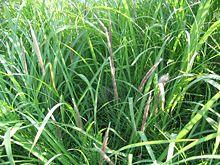 Imperata cylindrica is een van de belangrijkste grassoorten die in de fantasieën van het park voorkomen.