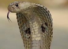 Die indische Kobra, Naja naja, die hier mit ausgebreiteter Kapuze gezeigt wird, wird oft als die archetypische Kobra