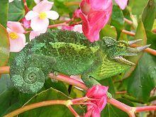 Feral Jackson's Chameleon aus einer Population, die in den 1970er Jahren auf Hawaii eingeführt wurde