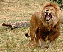 A crina do leão macho tem várias funções