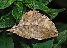 Kallima inachus to nimfalny motyl występujący w tropikalnej Azji. Z zamkniętymi skrzydłami wygląda jak suchy liść z ciemnymi żyłkami.