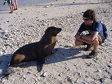 Lwy morskie na Galapagos są nieco oswojone i bardzo ciekawskie.