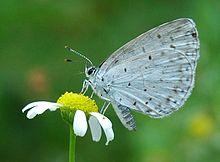 De kop en de borst van een vlinder zijn bedekt met platen van harde chitine, terwijl het achterlijf bedekt is met zachte chitine. Ook de vleugels bestaan uit een chitineachtig membraan.