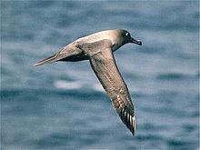 Albatrosse können bis unter 12 m tauchen.