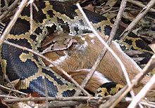 Python indiano engolindo um cervo Chital adulto no Parque Nacional Mudumalai.