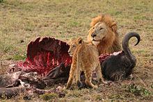 Leão e filhote comendo um Búfalo do Cabo.