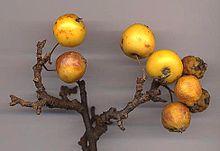 De vruchten zijn meestal rood, maar sommige, zoals deze cultivar 'Golden Hornet', zijn geel.