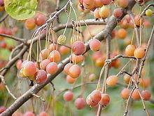 Malus sikkimensis vruchten aan de boom.