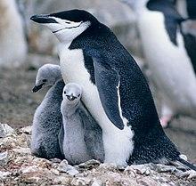 Twee mannetjes Kinbandpinguïns in de New York Central Park Zoo (zoals op de foto) zijn internationaal bekend geworden omdat zij als een paartje leven. Later kregen ze een ei dat uitgebroed en verzorgd moest worden. Ze slaagden erin het ei te verzorgen en uit te broeden.