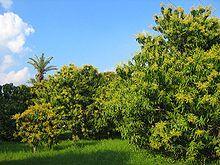 Mangofruchtplantage in Multan, Punjab