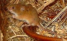 Eine Ernte-Maus