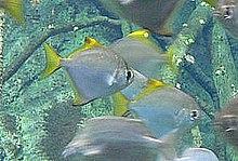 Ein Brackwasserfisch: Monodactylus argenteus