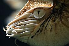 Nautilus ha un occhio stenopeico