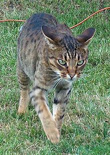 Ocicat op jacht