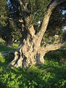 Olijfbomen nabij Karystos in Griekenland