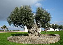 Een olijfboom