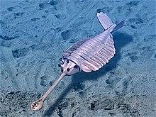 Opabinia ha dato un grande contributo all'interesse per l'esplosione del Cambriano.