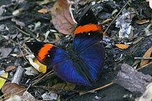 Ten sam motyl, Kallima inachus, pokazujący górną stronę swoich skrzydeł.