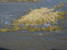 Oesterrif bij ongeveer mid-tide van vispier bij het Jacht Eiland Staatspark, Zuid-Carolina.