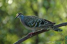 Der Bronzeflügel ist in Australien weit verbreitet und lebt in den meisten Lebensräumen außer im dichten Regenwald und in den trockensten Wüsten.