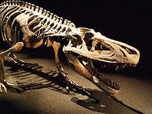 Montiertes Skelett der triassischen Art Saurosuchus galilei