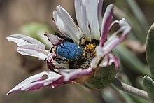 Kever graaft zich in de schijf van een bloem tijdens het voeden. Zuid-Afrika