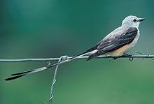 Oklahoma's staatsvogel de schaarstaartvliegenvanger