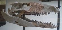 Schädel von Sebecus icaeorhinus