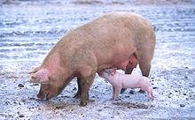 Varkens kunnen meer dan één soort griep tegelijk hebben. Dit betekent dat virussen genen kunnen vermengen en een grieptype kunnen worden dat een pandemie kan veroorzaken.