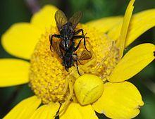 Uma aranha fêmea de caranguejo de vara dourada (Misumena vatia) capturando a fêmea de um par de moscas acasaladas.