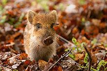 Ein Wildschwein-Ferkel in den Niederlanden