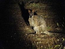 Macropus eugenii eugenii in Innes National Park, Zuid-Australië