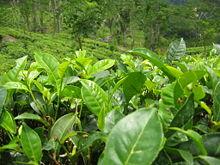 Bladeren van Camellia sinensis