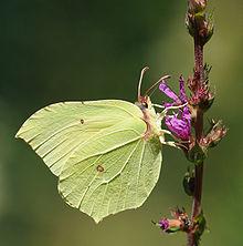 Niektóre motyle kamuflują: doskonały liść-naśladujący Gonepteryx rhamni, pospolity rdzeń, na fioletowym luźnym polu.