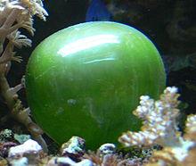 Valonia ventricosa , eine Algenart, gehört zu den größten einzelligen Arten. Ihr Durchmesser kann 5 Zentimeter (2,0 Zoll) erreichen.