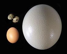 Wielkość ptasich jaj zależy w przybliżeniu od wielkości dorosłego ptaka. Struś znosi jajo o wadze 1,5 kg (po prawej). Pozostałe pokazane jaja pochodzą od kurczaka (na dole po lewej) i przepiórki (u góry po lewej).